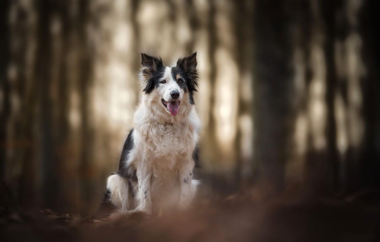 Фото обои природа, собака, Border collie