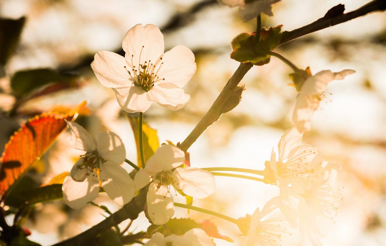 Фото обои вишня, весна, сад