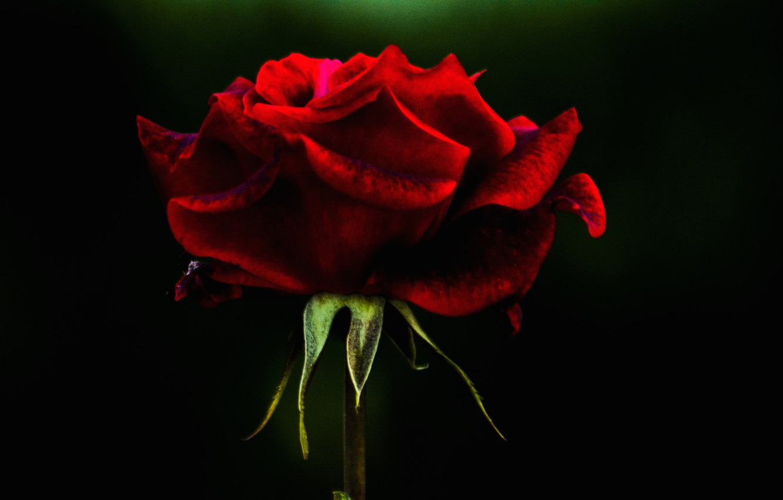 Фото обои фон, роза, лепестки, бутон
