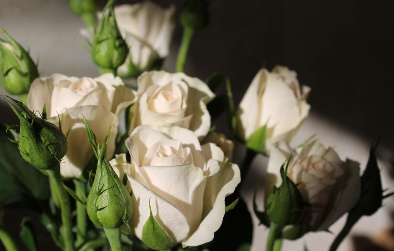 Фото обои цветы, розы, весна, белые розы, кустовые розы