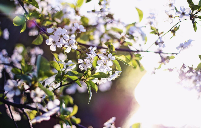 Фото обои природа, весна, красота природы, цветы абрикоса