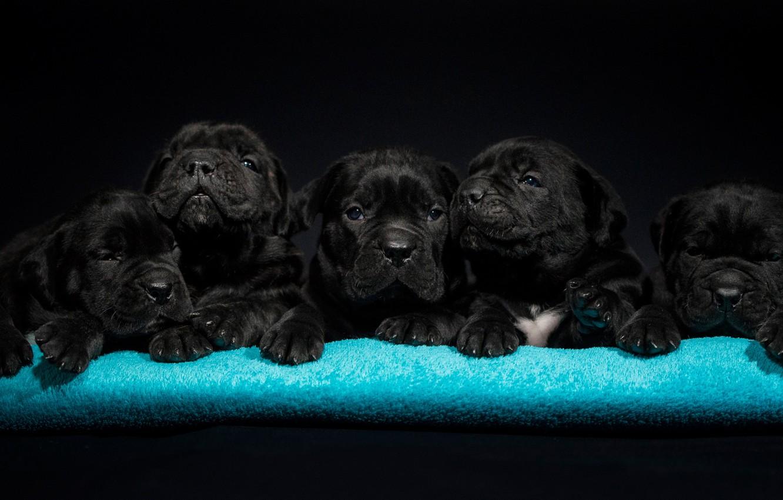 Фото обои собаки, щенки, малыши, Кане-корсо