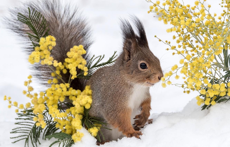 Фото обои зима, снег, белка, зверек, мимоза