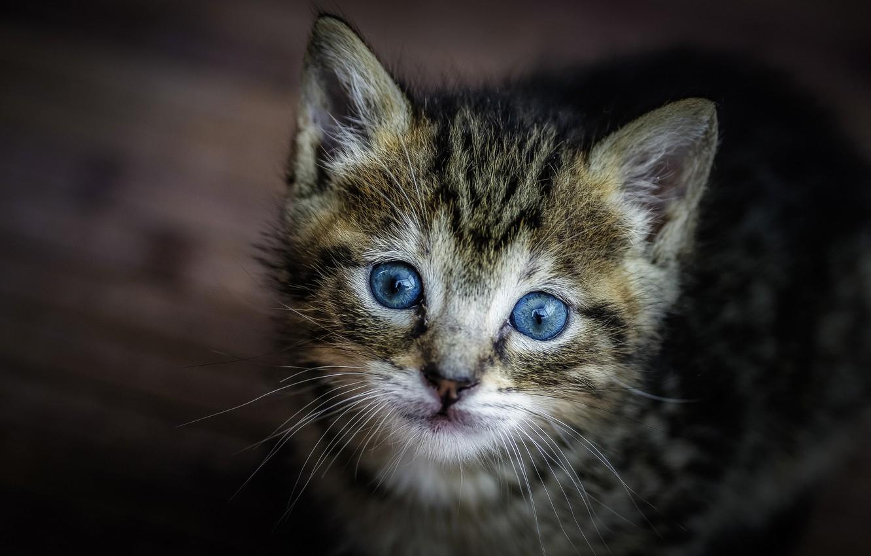Картинки голубоглазых котов