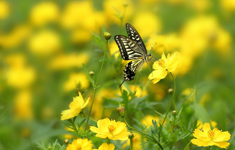 Фото обои макро, цветы, бабочка, Парусник, боке, Космея