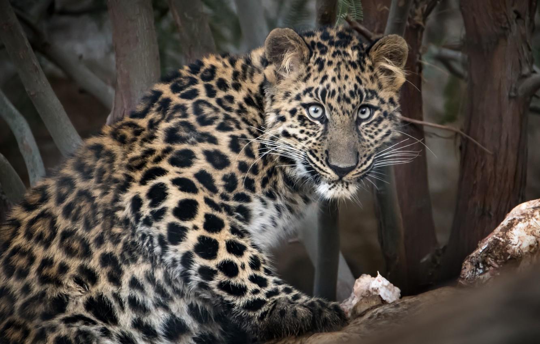 Фото обои взгляд, Амурский леопард, большой кот, зоопарк Сан-Диего