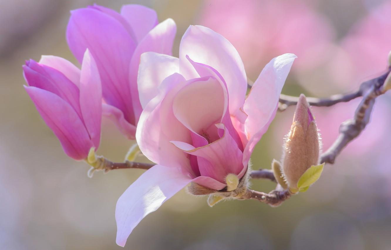 изготовить ветка магнолии фото цветка образована