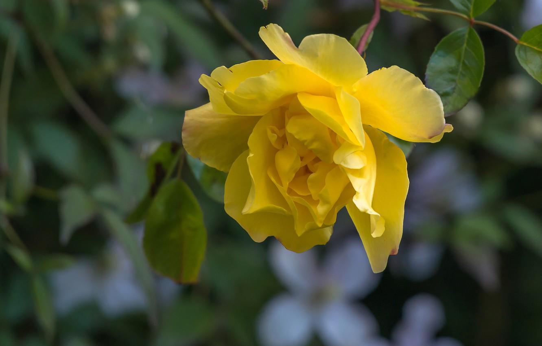 Фото обои макро, роза, лепестки, жёлтая роза