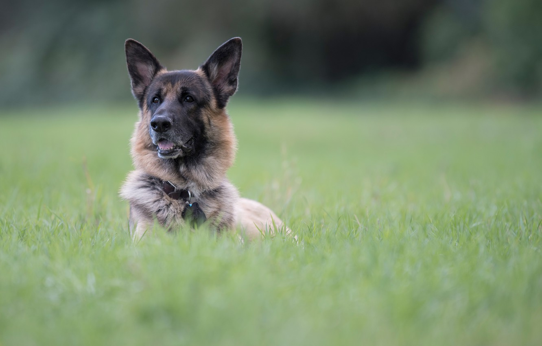 Фото обои трава, морда, портрет, собака, боке, Немецкая овчарка