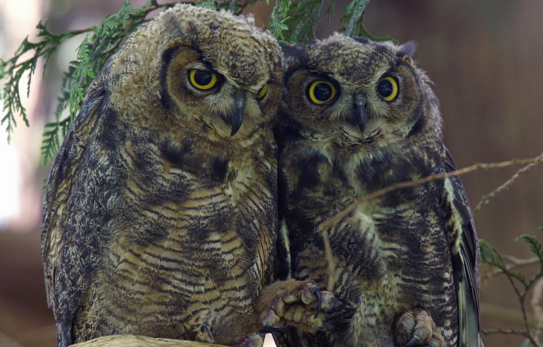 Фото обои птицы, пара, совы