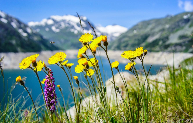 Фото обои цветы, горы, озеро, одуванчик, луг