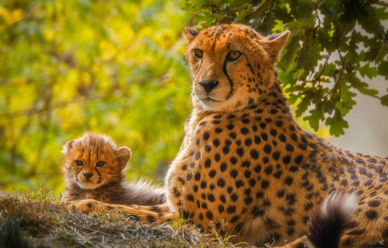 Картинка детеныш гепарда