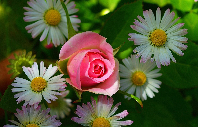картинки розы с ромашками позволит подготовить необходимые