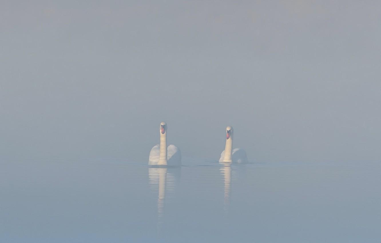 Фото обои туман, озеро, лебеди