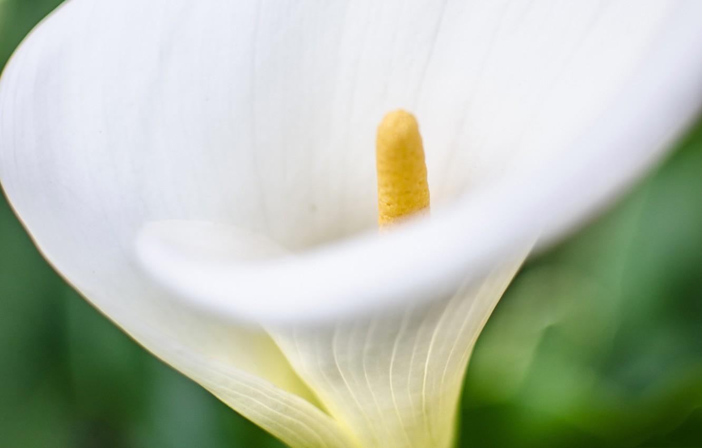 Фото обои цветок, природа, калла