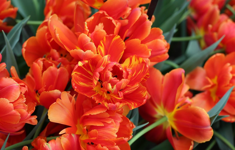 Фото обои Тюльпан, Парк, Голандия