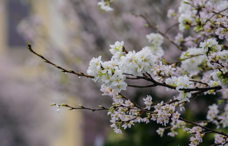 Фото обои цветы, ветки, дерево, Природа, весна, цветение