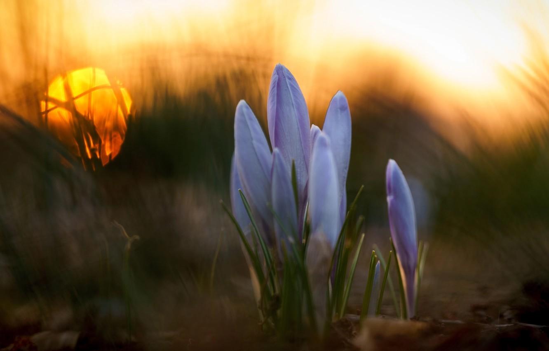 Фото обои трава, макро, цветы, весна, крокусы, боке