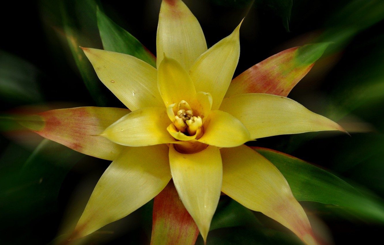 Фото обои природа, лепестки, экзотика, Гусмания