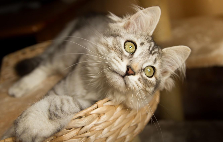 Фото обои кошка, кот, взгляд, мордочка, корзинка, котейка