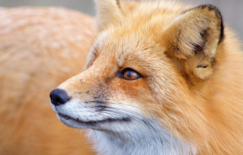 Фото обои морда, лиса, рыжая