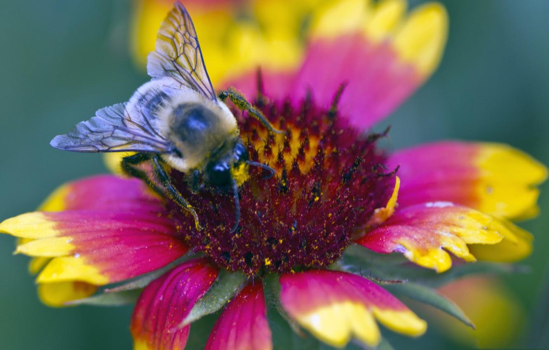 Фото обои цветок, пчела, лепестки, насекомое