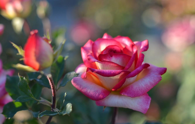Фото обои цветок, роза, бутон, боке