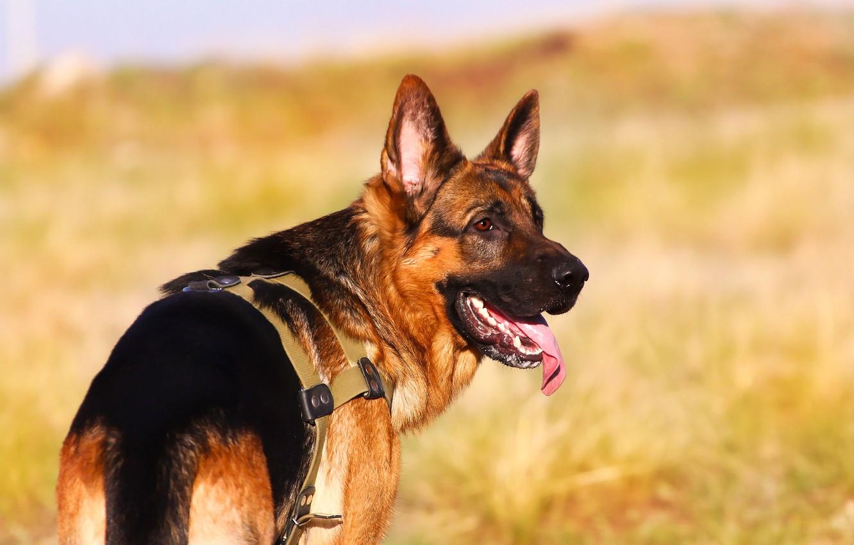 Фото обои язык, фон, друг, собака, немецкая овчарка