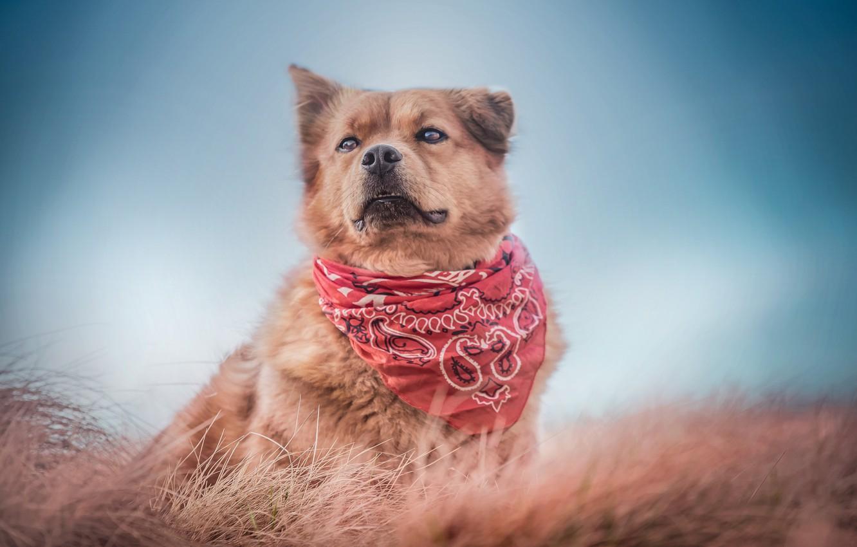 Фото обои трава, фон, собака, бандана, пёс