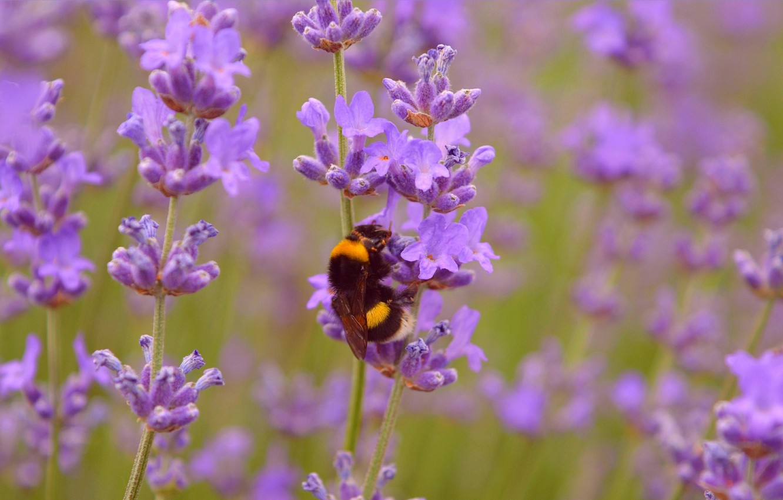 Фото обои шмель, Лаванда, Lavender, Wasp