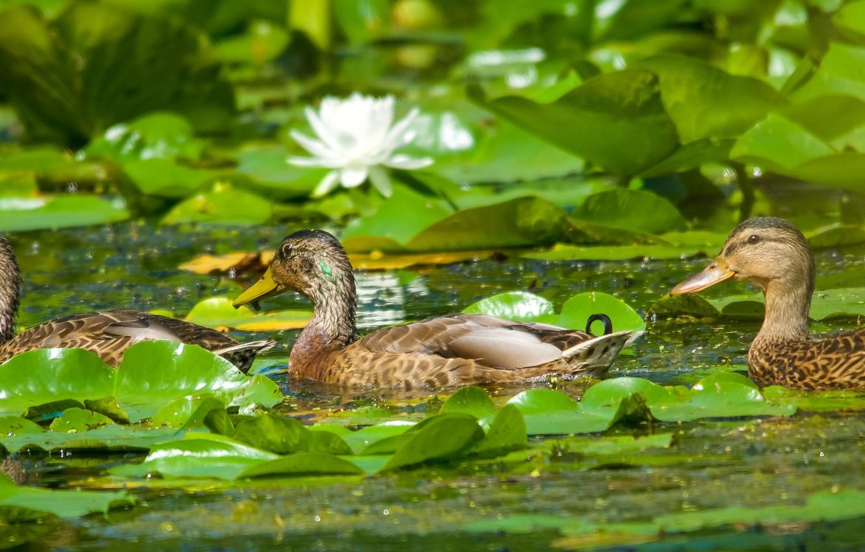 Фото обои вода, цветы, лилии, утки