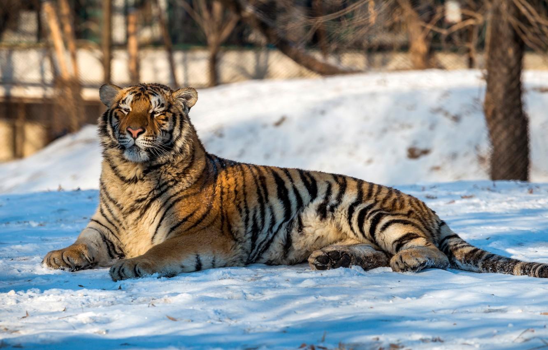 Обои лежит, на снегу, Хищник. Животные foto 9