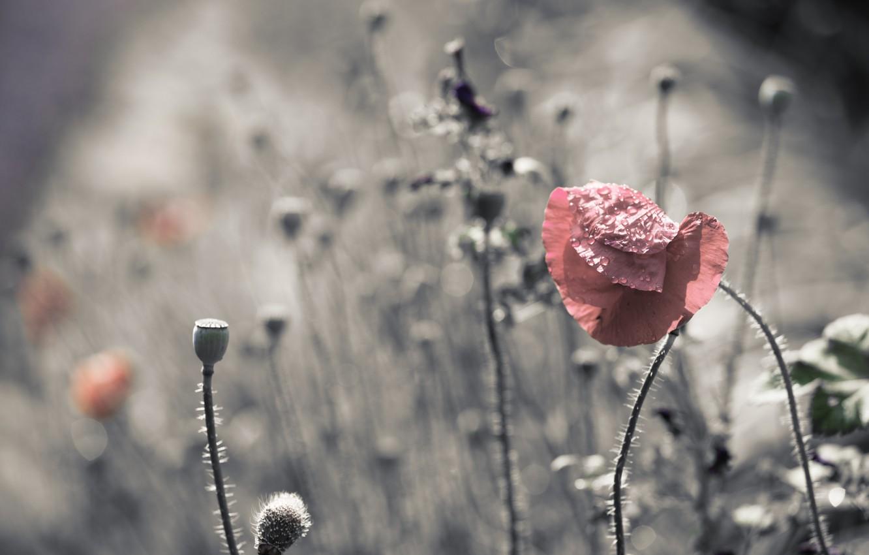 Фото обои природа, цвет, маки
