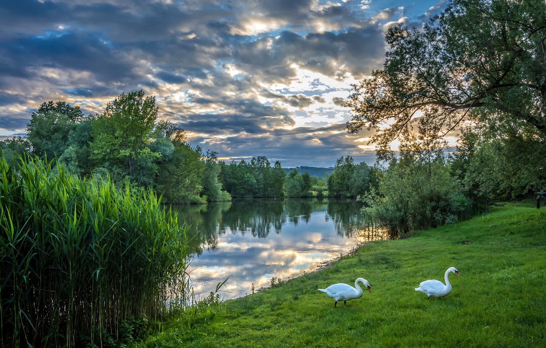Фото обои зелень, лето, небо, трава, облака, деревья, река, вечер, пара, белые, лебеди, кусты, Хорватия, Загреб, Bobovica