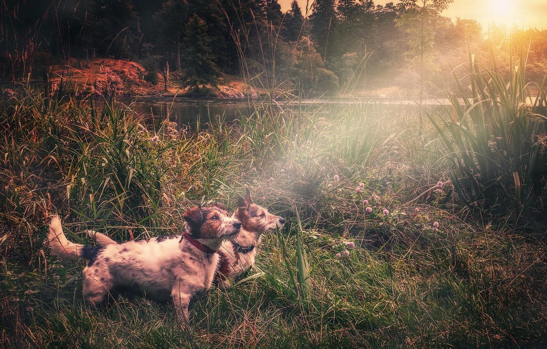 Фото обои собаки, свет, озеро