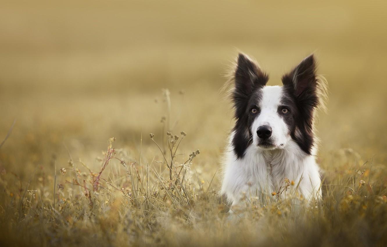 Фото обои трава, взгляд, морда, собака, Бордер-колли