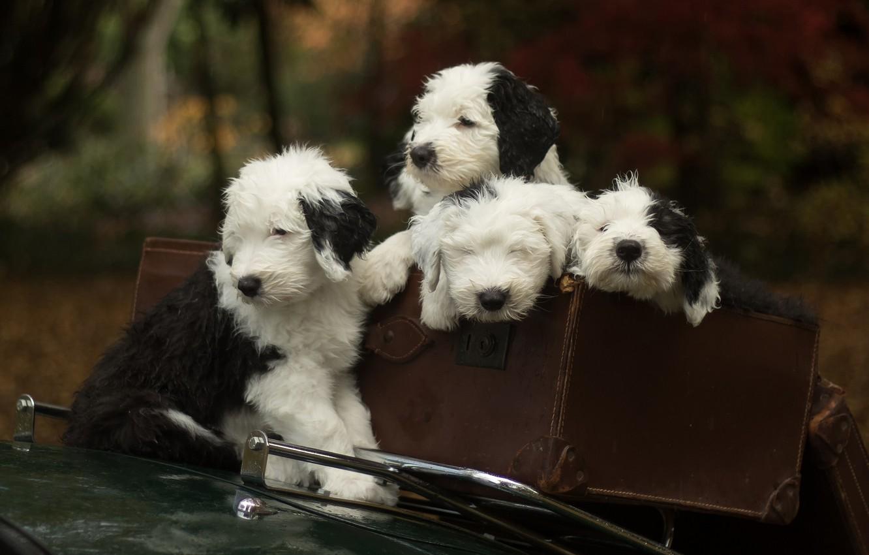 Фото обои собаки, щенки, чемодан, квартет, Бобтейл, Староанглийская овчарка