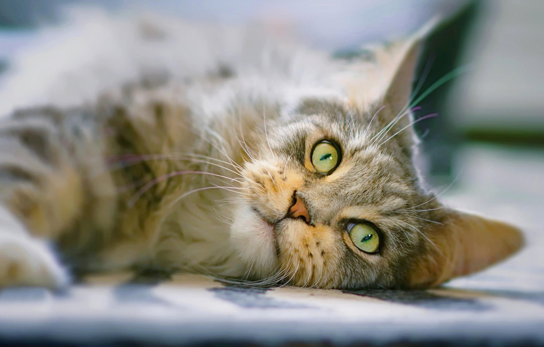 Фото обои кошка, кот, взгляд, мордочка, Мейн-кун