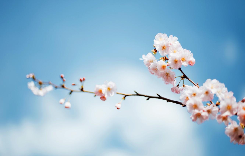 Фото обои небо, дерево, фокус, ветка, весна, цветение