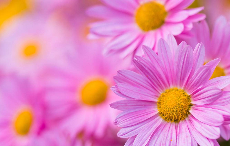 Фото обои природа, лепестки, сад, хризантема