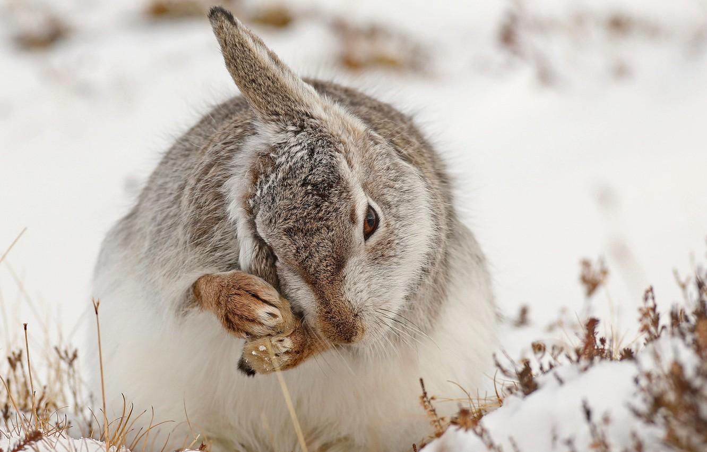 Фото обои снег, природа, заяц