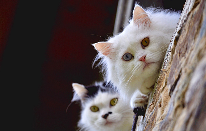 Фото обои взгляд, кошки, парочка, мордашки