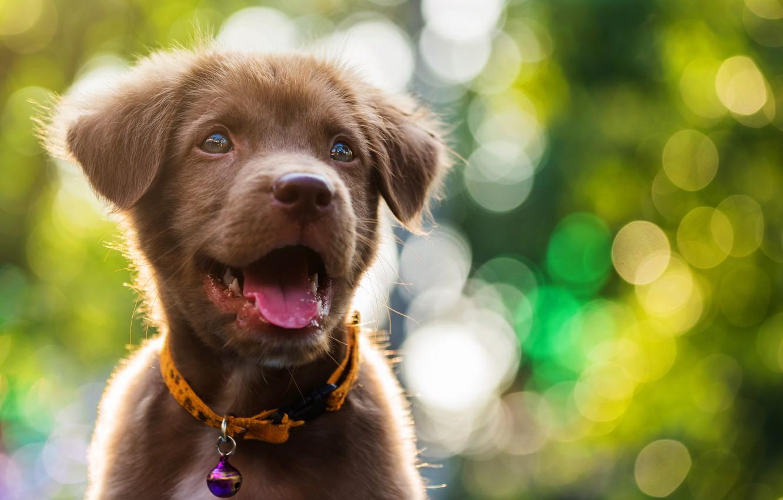 Фото обои милый, щенок, light, лабрадор, puppy, dog, bokeh, cute