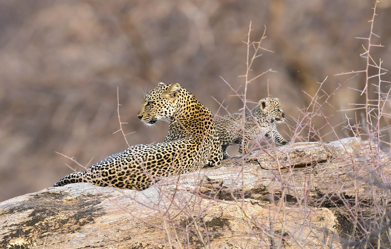 Фото обои леопард, африка, кения, самбуру