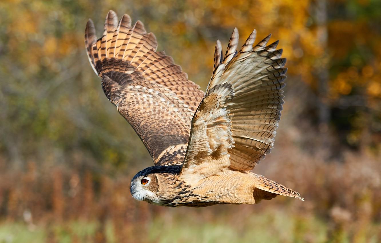 Фото обои лес, полет, природа, сова, птица, размытость, охота, animals, nature, боке, филин, owl, travel, wallpaper., my ...