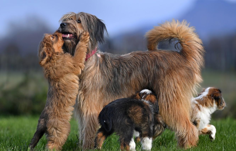 Фото обои собаки, щенки, Валлер