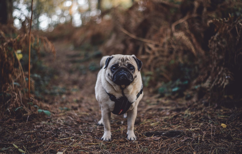 Фото обои осень, лес, собака, мопс, forest, dog, autumn, pug