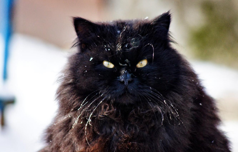 Фото обои кошка, глаза, взгляд, шерсть
