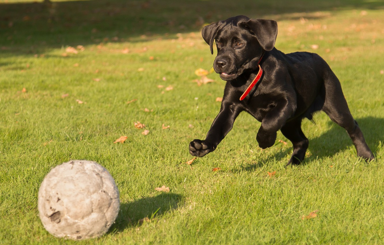 Фото обои трава, игра, мяч, щенок, Лабрадор-ретривер
