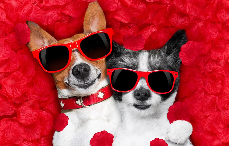 Фото обои собака, лепестки, love, rose, dog, romantic, hearts, funny, valentine, petals